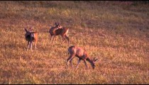 Slow motion shot of three young deer grazing in field.