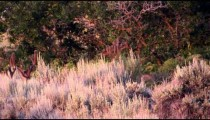 Static shot of three buck laying in sage brush. Only the antlers are visible. Shot in slow motion.