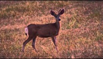 Static shot of young male deer standing in the field. Shot in slow motion.
