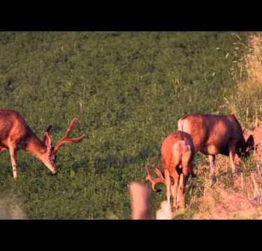 Three male deer in alfalfa field. Shot in slow motion.