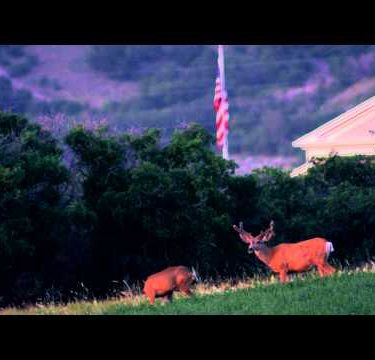 Slow motion shot taken of two deer in a field in front of house.