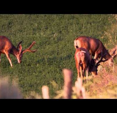 Slow motion footage of three male deer feeding in alfalfa field.