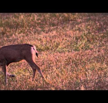 Slow motion shot of young buck walking in a meadow and eating grass.