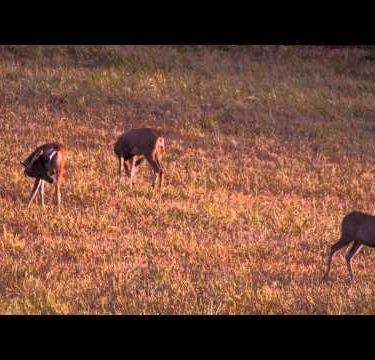 Slow motion shot of two doe and one buck in a field.