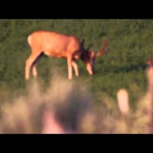 Slow motion shot of two bucks eating in a field. Pull focus at end.