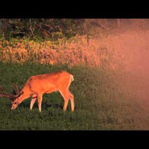 Slow motion shot of buck eating in a field.