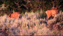 Slow motion shot of three bucks amongst sage brush on a mountain.