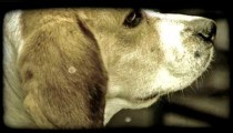 Close-up of calm beige dog. Vintage stylized video clip.