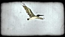 Flying pelican. Vintage stylized video clip.