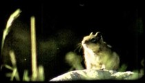 Squirrel on rock. Vintage stylized video clip.