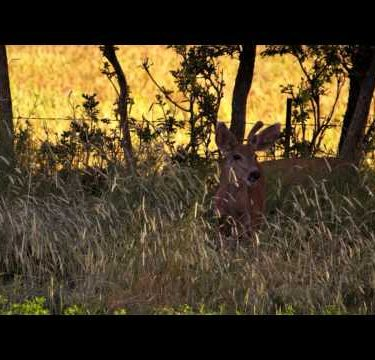 Slow motion shot of young male deer standing in tall meadow grass and eating.