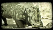 Rhino stands near wall at zoo. Vintage stylized video clip.