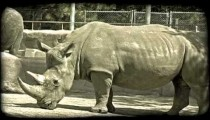 Large rhinos at zoo. Vintage stylized video clip.