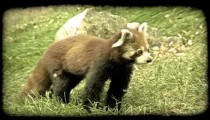 Red racoon walks on grass. Vintage stylized video clip.