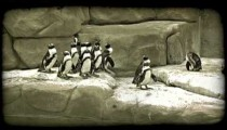 Penguins stand near pool. Vintage stylized video clip.