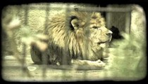 Lion yawns and eats in zoo. Vintage stylized video clip.