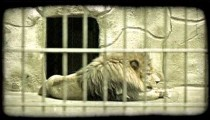 Lion at rest in zoo. Vintage stylized video clip.