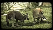 Kangaroos eat grass. Vintage stylized video clip.