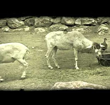 Goats eat grass. Vintage stylized video clip.