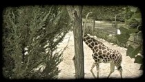 Mother and baby giraffe at zoo. Vintage stylized video clip.