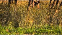 A young buck in tall grass, shot in slow motion