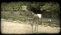 Giraffe chews on food. Vintage stylized video clip.