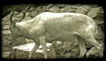 Gazell in zoo. Vintage stylized video clip.
