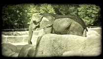 Elephant in zoo. Vintage stylized video clip.
