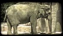 Elephant swings trunk. Vintage stylized video clip.