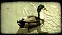 Duck swims in wetland. Vintage stylized video clip.