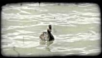 Duck dives below water. Vintage stylized video clip.
