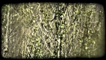 Cardinal perched in aspens. Vintage stylized video clip.