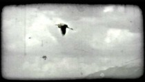 Pelican flies through air. Vintage stylized video clip.