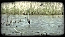 Crane in marsh. Vintage stylized video clip.