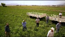 Aerial, panning shot of workers in a field throwing watermelons into trailers.
