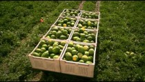 Aerial, panning shot of a tractor pulling a trailer full of watermelons.