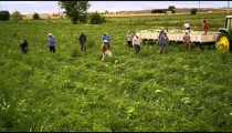 Aerial shot of workers harvesting food in a field.