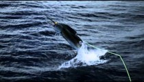 Slow motion shot of a swordfish on a hook jumping out of the water,