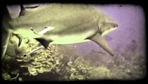 Shark swims by reef. Vintage stylized video clip.