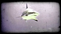 Shark swims in reef. Vintage stylized video clip.