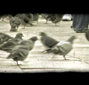 Pigeons. Vintage stylized video clip.