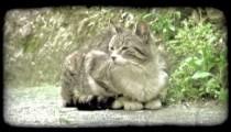 Cat Stare 2. Vintage stylized video clip.