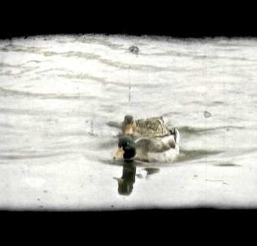 Ducks Paddle 2. Vintage stylized video clip.