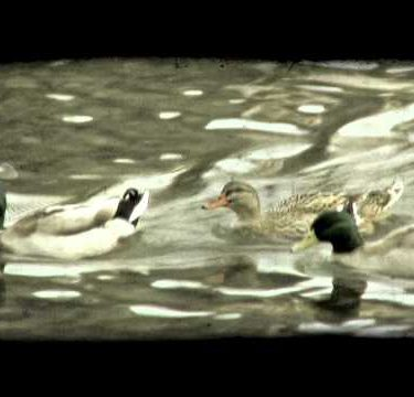 Ducks Paddle 1. Vintage stylized video clip.