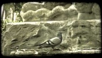 Pidgeon in Fountain. Vintage stylized video clip.