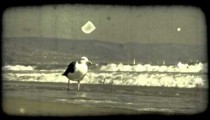 Seagull walks on shore. Vintage stylized video clip.