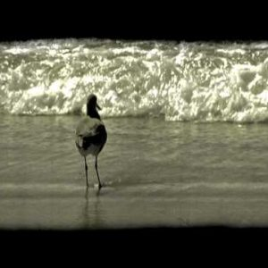 Bird preens on shore. Vintage stylized video clip.