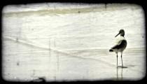 Bird walks along shore. Vintage stylized video clip.