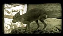 Jack rabbit on ledge. Vintage stylized video clip.