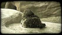 Owl on rocks. Vintage stylized video clip.